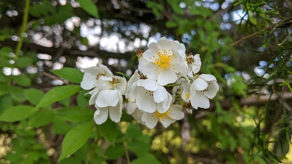 The non-native Multiflora rose
