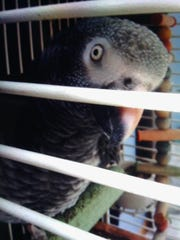 The Timneh African Grey Parrot Hans, killed in a Webster burglary Saturday.
