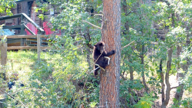 As Ruidoso police officers try to confined the cub until a warden from New mexico Game and Fish arrives, the young bear cub climbs a tall tree.