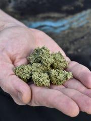 Un hombre muestra la planta de la marihuana en su mano.