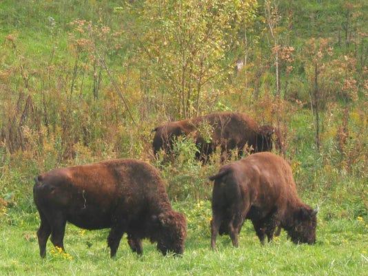 BBL Bison Herd.jpg