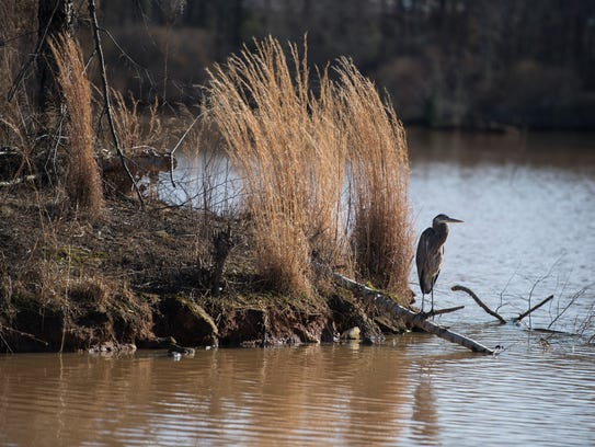 A blue heron hanags out on a bank of Oak Grove Lake