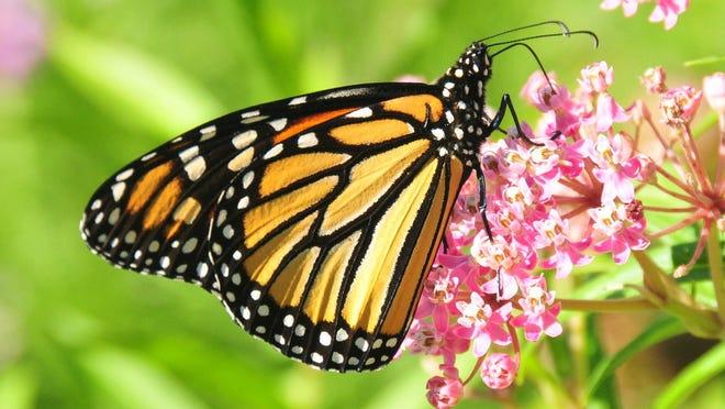 Milkweed is an important part of habitat for monarch butterflies.