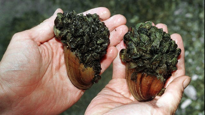 Zebra mussel encrusted clams that were pulled from the Huron River near the Portage Lake Dam in Dexter Township, Mich.
