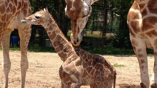 Dickerson Park Zoo welcomed a new giraffe calf.