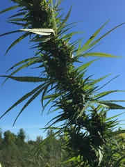 A stalk of ultra low-THC hemp is seen growing at Borderview Farm in Alburgh, under the supervision of University of Vermont Extension's Northwest Crops & Soils Program. Photographed on September 16, 2016.