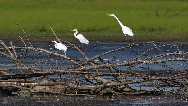 A trio of great egrets in Pintail Marsh at Ankeny National Wildlife Refuge, Friday, August 21, 2015, near Jefferson, Ore.