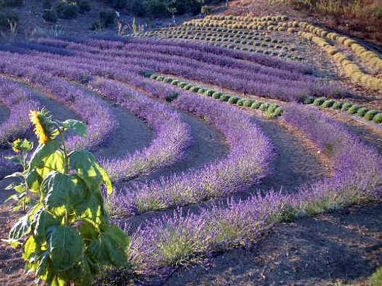 Celebrate all things lavender in Ojai on June 27