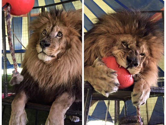 Francis the lion will be in action at the circus.
