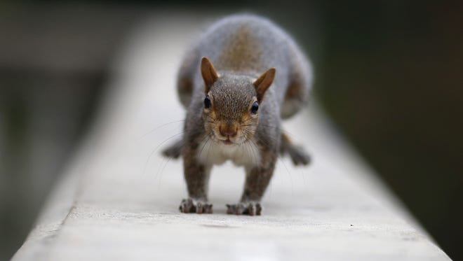 A squirrel stands in Valentino Park in Turin, on November 18, 2016.  / AFP PHOTO / MARCO BERTORELLOMARCO BERTORELLO/AFP/Getty Images ORIG FILE ID: AFP_I79OO