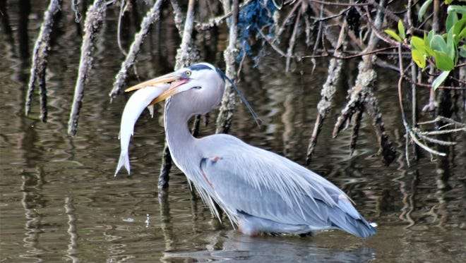 Pablo Gonzalez photographed this great blue heron collecting a meal at the edge of the Indian River Lagoon in Sebastian.