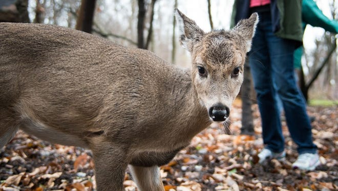 Baby, the orphaned fawn, is released today at her new home.