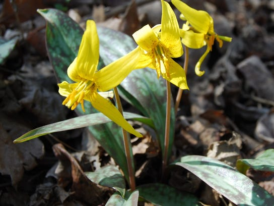 trout lily1 bender.jpg