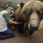 The 830-pound Grizzly bear killed by a vehicle on Highway 200 near Lincoln in 2007 is on display at the Lincoln Ranger Station. Due to the popularity of the bear, the ranger station built it a new display.