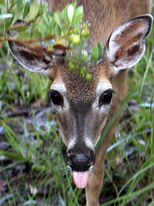 Deer sticking out tongue