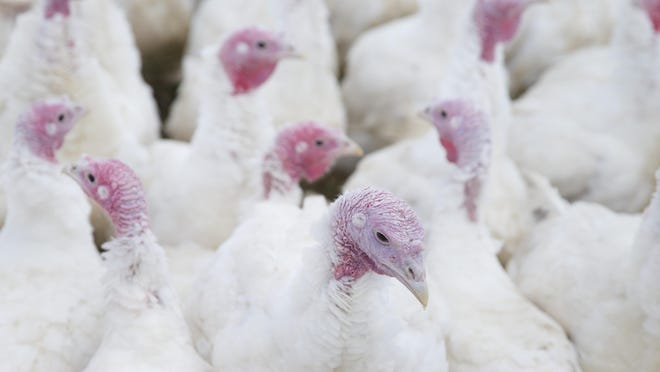 For Thanksgiving, consider buying organic turkeys that are raised on grass and allowed to roam.