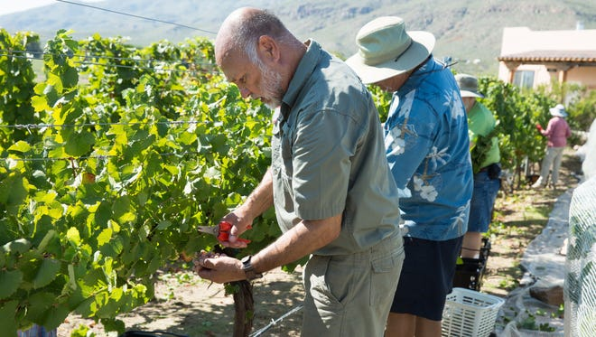 Fort Selden Winery owner Franklin Simon joins his volunteers in picking grapes on Saturday, Sept. 3, 2016, during the vineyard's first harvest.