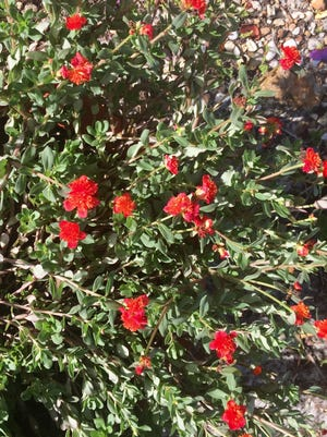 Portulaca is easy to grow, even in Southwest Florida's stifling heat.