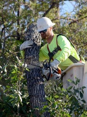 Work crews cut down a diseased tree near California and Arlington avenues Tuesday morning in Reno.