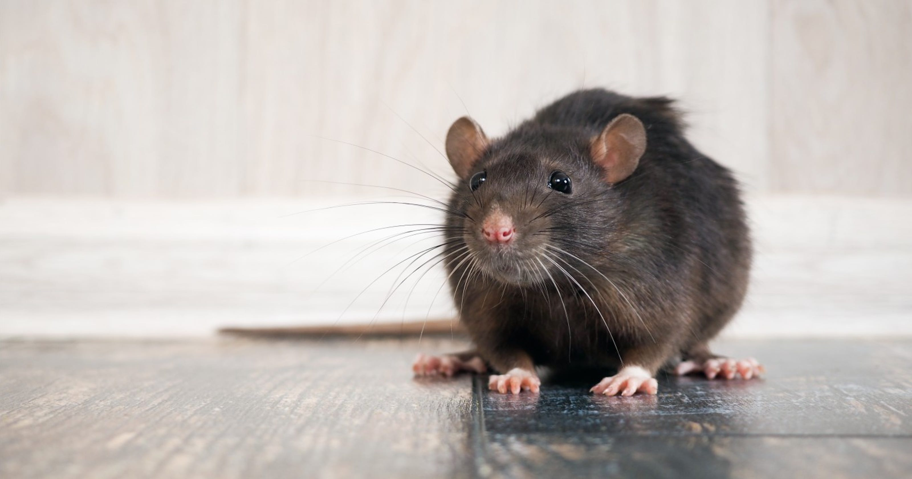 Woman living in van gives up all 300 of her rats...