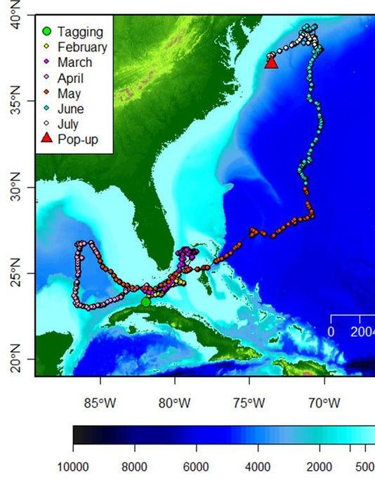 Longfin_mako_Cuba_track_8-2015_Credit_Mote_Marine_Laboratory