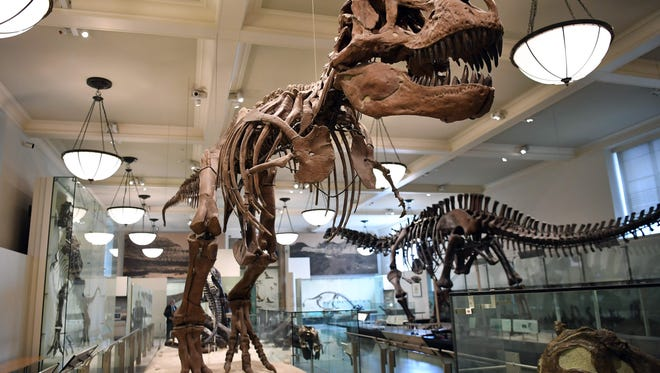 A picture taken on September 18, 2017 shows the skeleton of a dinosaur on display at the Dinosaur Hall of the American Museum of Natural History in New York City.