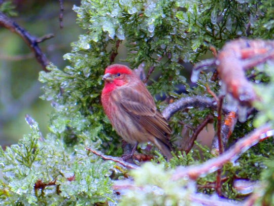 With ice covering limbs and needles, this house finch