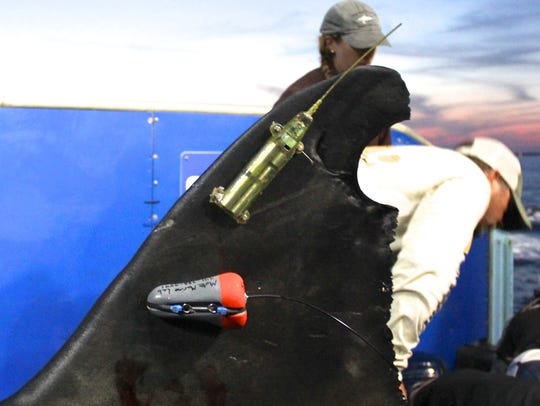 The GPS tag on Mary Lee's fin will allow OCEARCH to