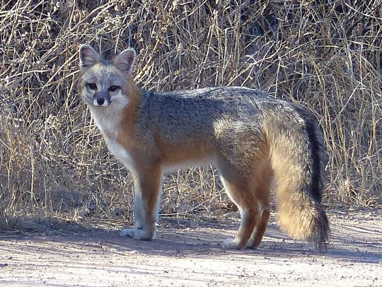 A gray fox pauses for a photo, and its mate (not in view) watches nearby. This photo was not taken locally.