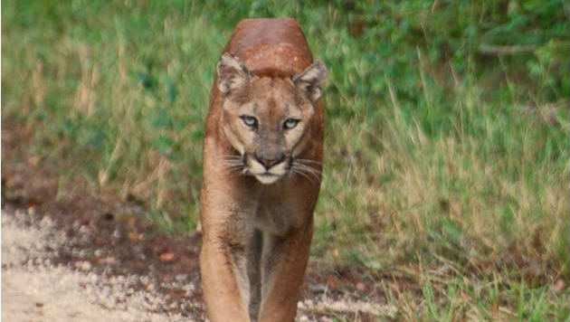 A panther strolls along an unpaved roadway. The state will start construction later this year on a project that will complete 10-foot panther fencing along the Alligator Alley portion of Interstate 75.