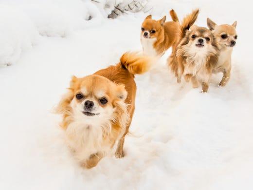 32. Chihuahuas • 2016 rank: 30 • 2007 rank: 12 • Originating