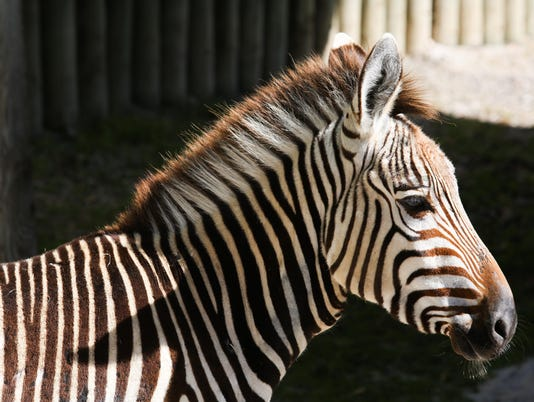 A Hartmann's mountain zebra at Zoo Knoxville