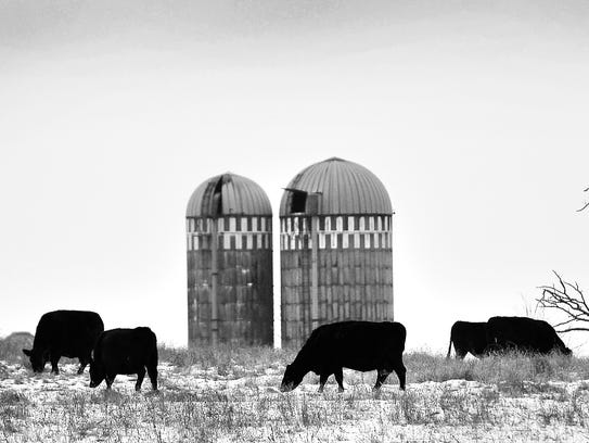 A herd of cattle graze Jan. 5 along Benton County Road