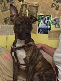 Max is a pit bull mix looking for a home.