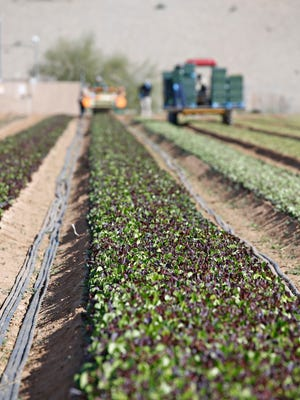 With Interstate 10 in the background, farmer Sean McClendon and his crew pick a salad mix using an Italian harvesting machine for at McClendon's Select's Goodyear location.