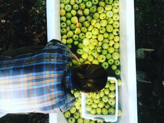 Trevor Piersol soaks a bathtub of apples out in Bath