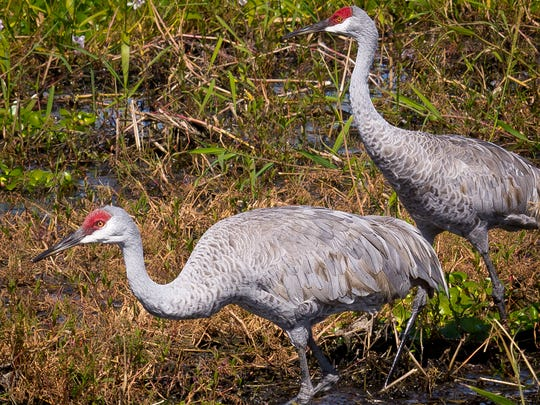 "Wading Sandhill cranes feed on snails, mussels, frogs, small crustaceans and insects in shallow wetland areas. A puffed out ""bustle"" shaped by some of the wing feathers droops over the tail."