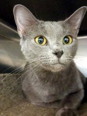 Junebug is a 1-year-old, spayed-female, domestic short
