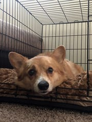 Jasper, a corgi from Iowa City, Iowa, is recuperating