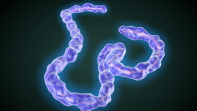 The Marburg virus is closely related to the Ebola virus (pictured). The two viruses are the only members of the filovirus family. Both viruses cause severe hemorrhagic fever in humans and non-human primates.