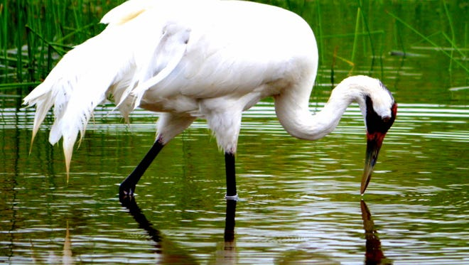 Karen Abraham of Sheboygan captured this shot of a whooping crane while on vacation in Wisconsin Dells last month.