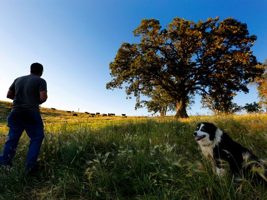 Joined by his dog, Blaze, Justin Dammann pauses to survey a pasture while tending to one of his cattle herds the morning of July 3, 2014, on his rural Page County farm.