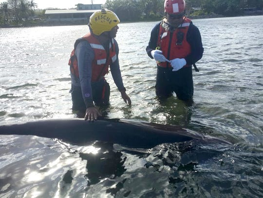 In this file photo, firefighter assisted in the rescue of a beached beaked whale near Agat a few years ago. On Thursday, a whale washed up on Naval Base. A necropsy is being performed.