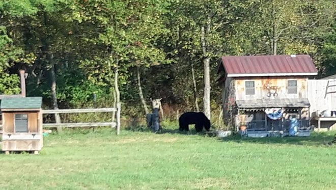 This black bear was photographed recently on Bob and Cindi Moore's property in Dillsburg.
