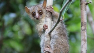 Three new species of mouse lemurs - the world's smallest primates - have been discovered by researchers at the University of Kentucky.