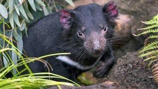 A young Tasmanian devil.
