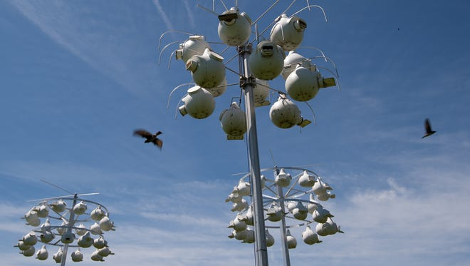 Purple martin birds fly over their bird houses at Bombay Hook National Wildlife refuge in Smyrna. Bird deaths were reported this spring following cold and wet weather.