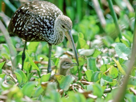 Limpkin with a young chick.