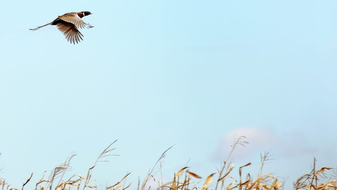A rooster pheasant sails over a corn field.