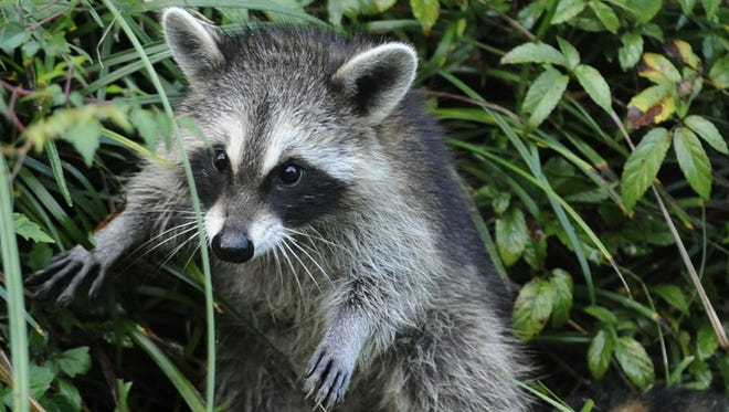 Health officials plan to use airplanes and helicopters to distribute rabies vaccine for raccoons across 10 counties in north Alabama.